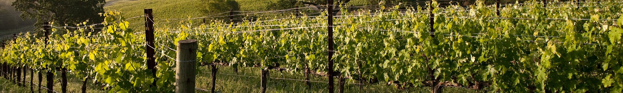 Napa Grape Vines About
